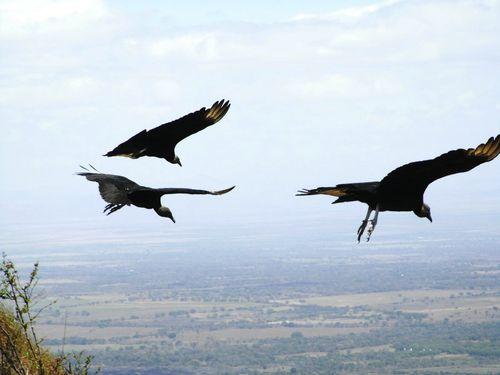 Vultures, Parque Nacional Volcan Masaya